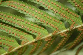 Fronds with spores