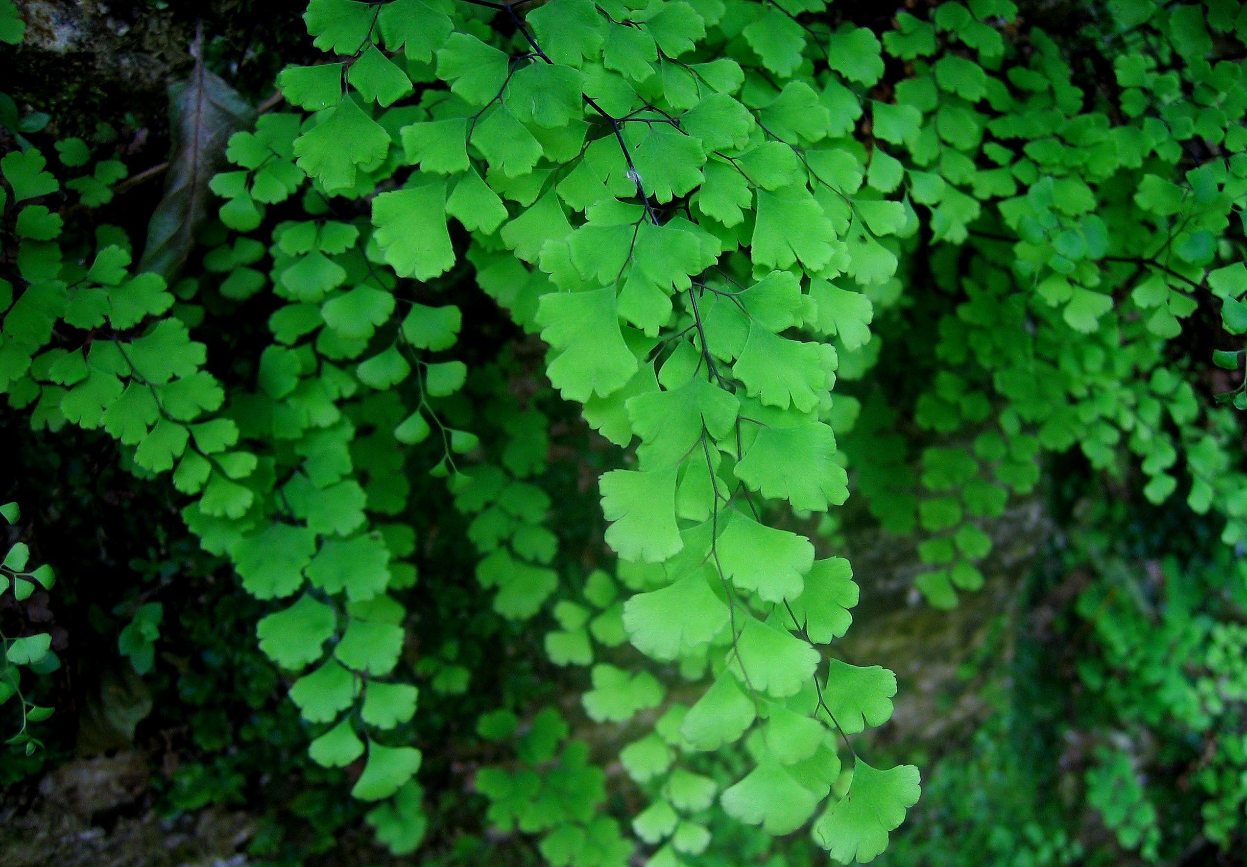 Maidenhair Ferns - Garden Diary