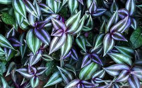Wandering jew garden diary - Wandering jew plant name ...