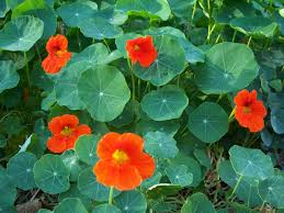 Garden Nasturtium 1